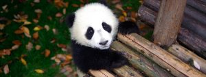 パンダの超癒やし系映像をいつでもどこでも!『ぱんだぴあ日記』Huluにて配信 (C)ドラゴン フィルムズ